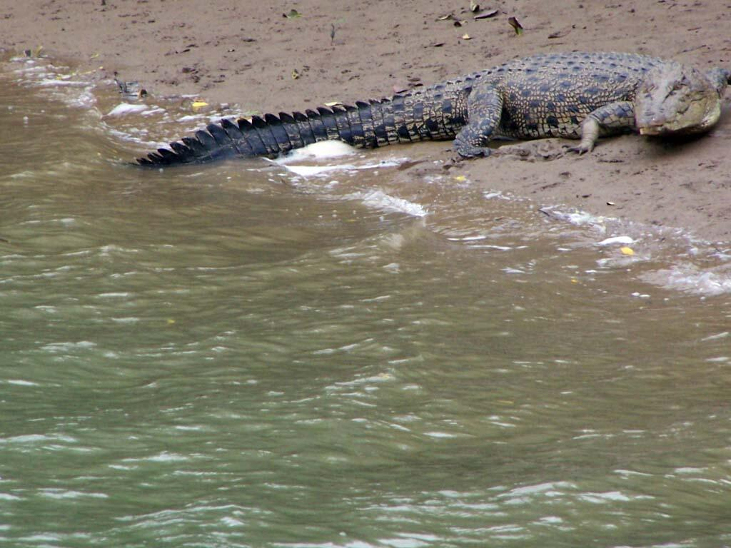 crocodile at bhitarkanika yet