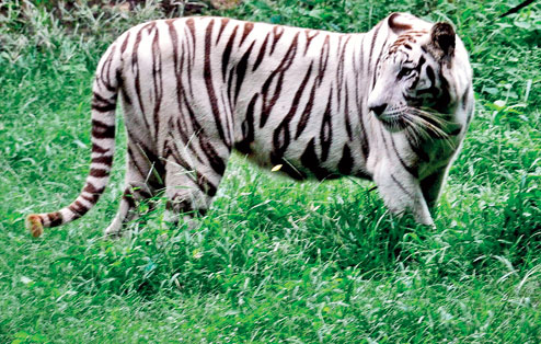 White Tigress in Nandankanan gives birth to rare Black Cub