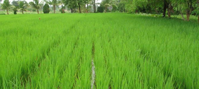 US Naval Research Laboratory says Odisha Rice has no toxicity Which WestBengal or China Rice have