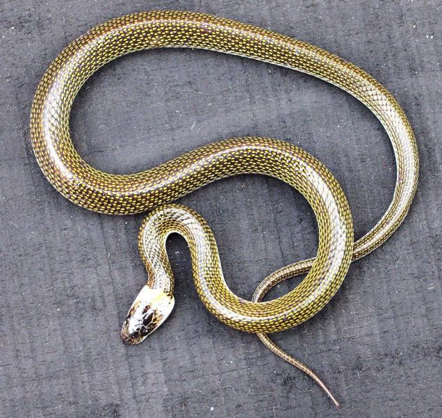 odisha new snake discovered