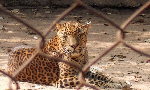 Nandankanan in Bhubaneswar now has India's largest open top leopard enclosure