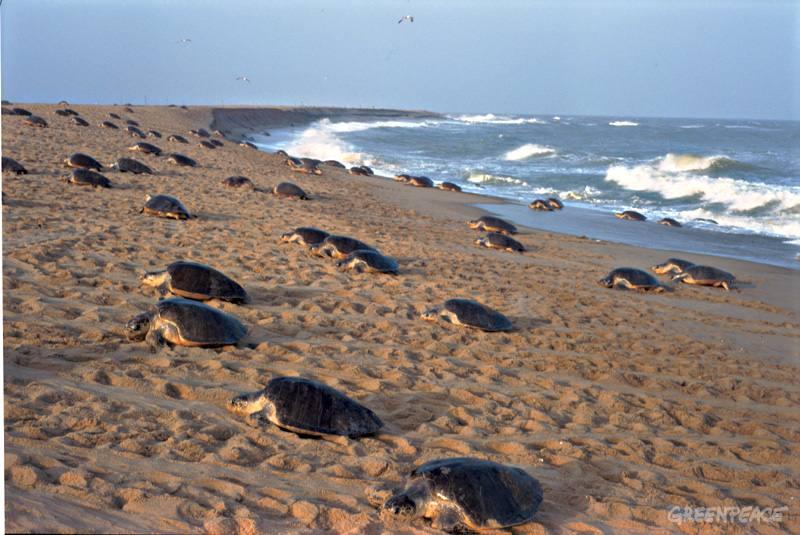 Wonders_of_Odisha_Gahirmatha_Beach