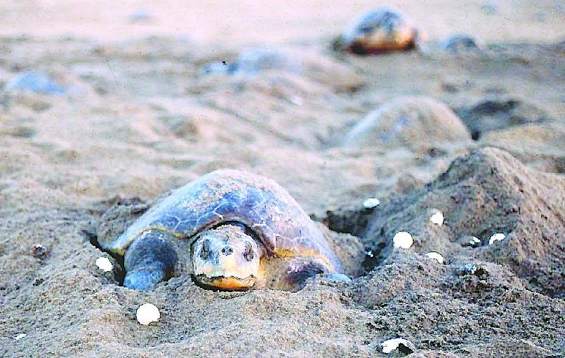 olive ridley turtles odisha