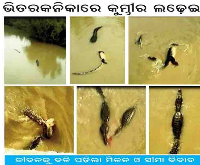 bhitarkanika crocodiles fight