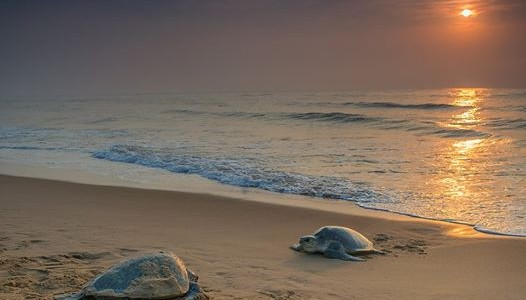 Madras High Court asked Tamilnadu Government to follow Odisha steps for Olive Ridley