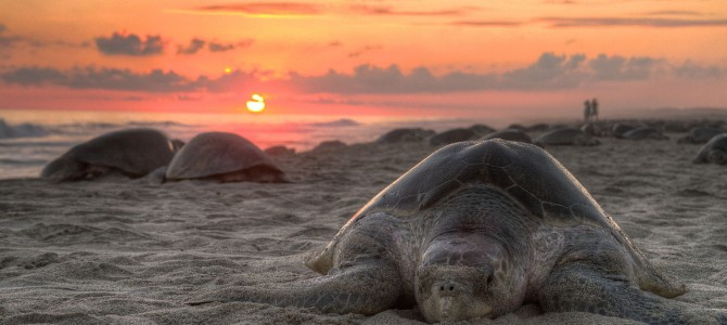 Olive Ridley Turtle hatchlings webcast to be avalilable online too