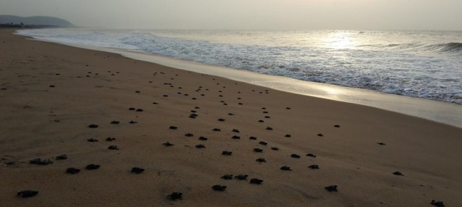 Odisha continues to be happy ground for nesting for Olive Ridley Turtles this year too