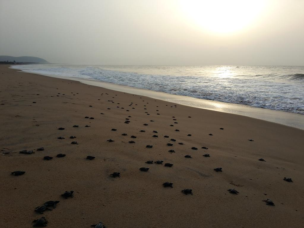 olive ridley returning to coast bbsrbuzz