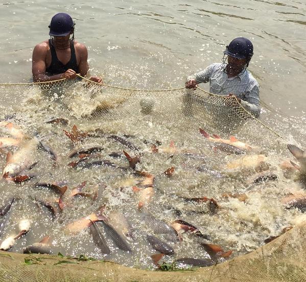 CIFA bhubaneswar rohu fishing