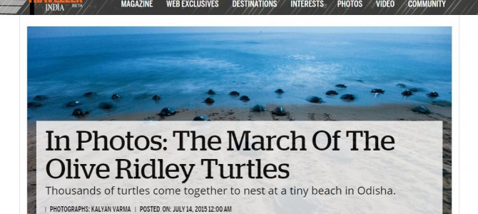 National Geographic Features Odisha Olive Ridley Turtles
