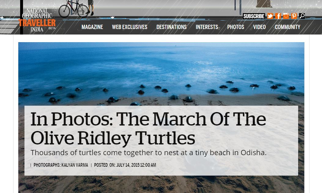national geographic olive ridleys
