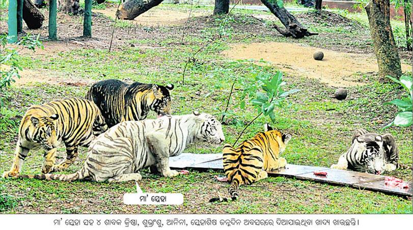 Tiger family in nandkanan bhubaneswar