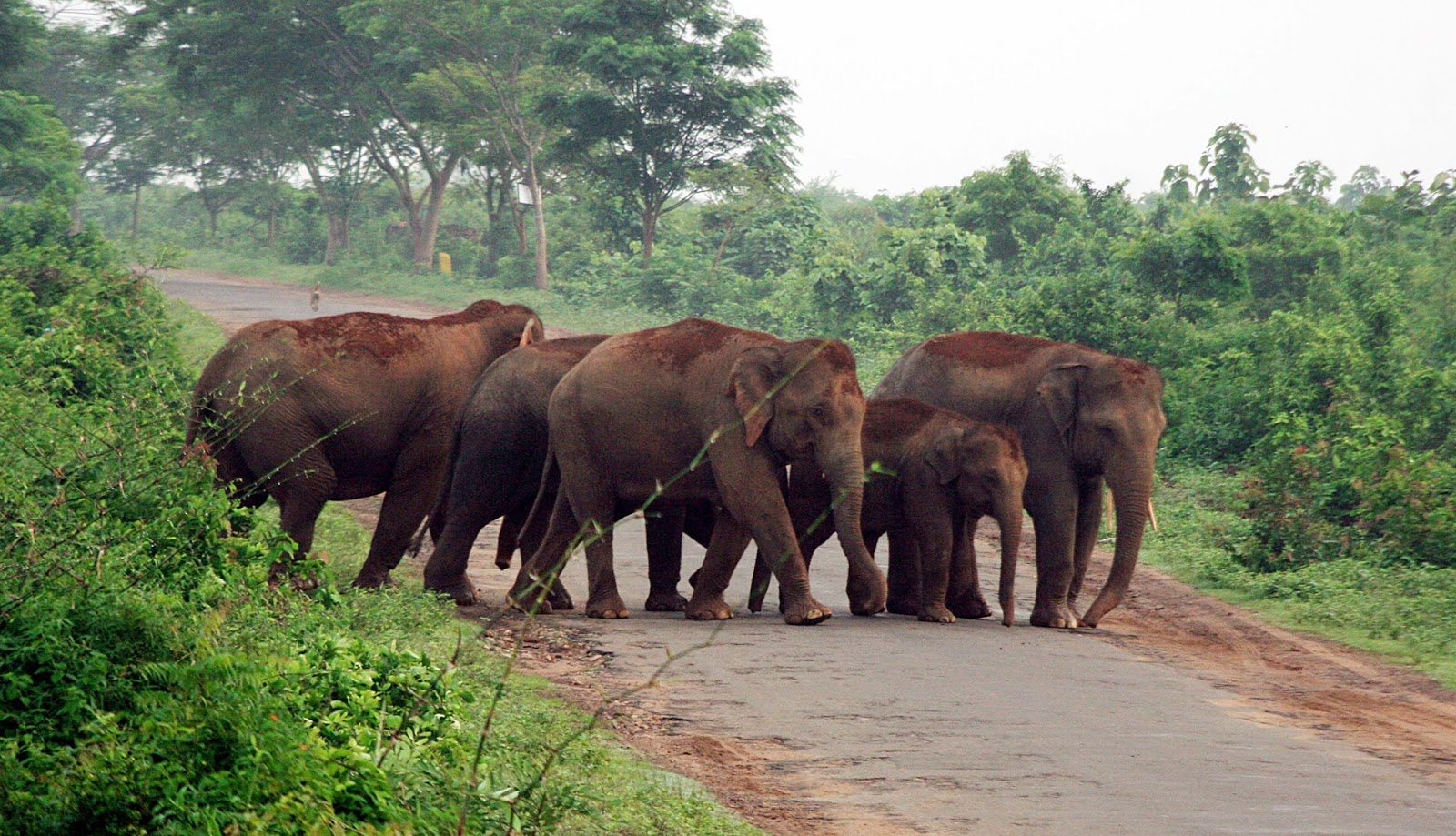 Elephants Near Chandaka