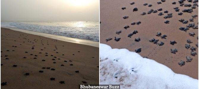 More than 200,000 baby Olive Ridley Turtles have emerged along Odisha's coast