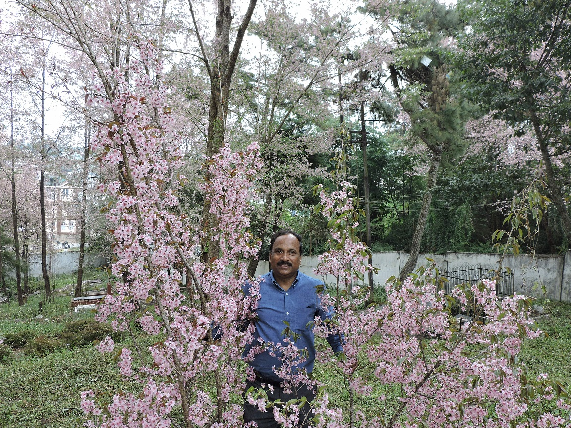 This Professor From Odisha Is The Reason That Shillong Has Their Famous Cherry Blossom Festival Bhubaneswar Buzz