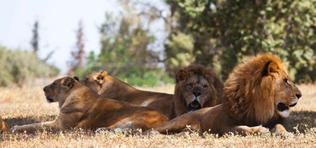 Four Lions and Zebra added to Nandankanan Zoo from Tel Aviv Israel