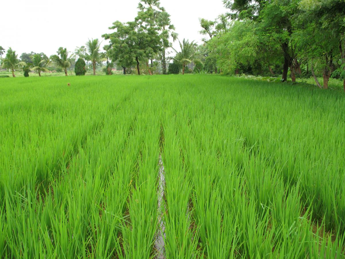 rice field india