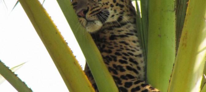 Leopard Climbs atop of Palm tree in Balasore Odisha