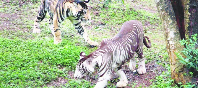 First Zoo in India to have rare melanistic or black tiger Nandankanan starts showing them