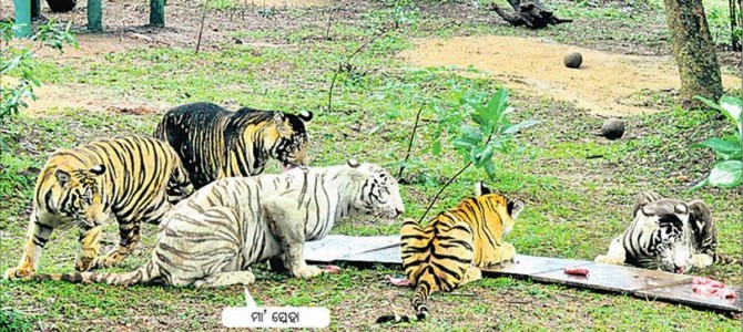 Tiger Family with new kids celebrating first year in Nandankanan zoon in the city