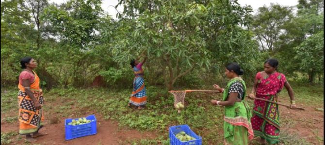 How the incomes of Odisha's women mango cultivators increased four times in less than a year