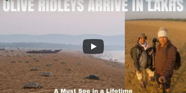 JustVish is back with a video on Olive Ridleys on Odisha coast often called Greatest Wildlife Show in India